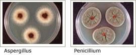 Aspergillus/Penicillium-Like